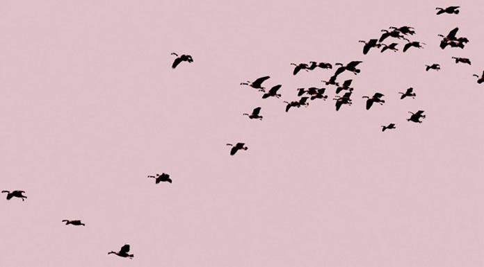 Allison Au - blushing sky with ducks